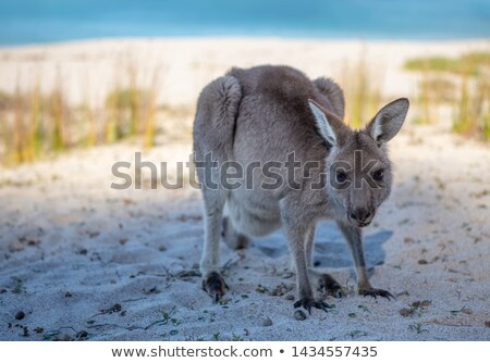 Juvenile kangaroo on the beach in afternoon light Stock photo © lovleah
