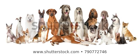 Different Kinds of Dog Breeds on White Background Stock photo © robuart