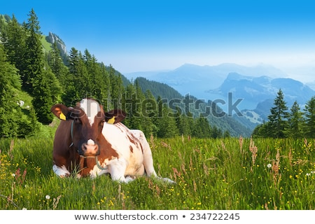 cow on pasture in alpine mountain area stock photo © lichtmeister