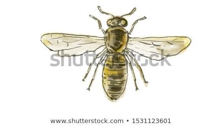 Spanish Pollen Wasp  Drawing Stock photo © patrimonio