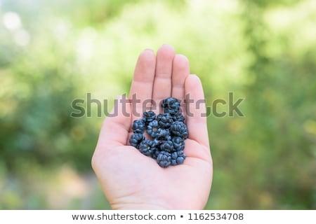 Close Up Of Man Holding Freshly Picked Blackberries Stock photo © HighwayStarz