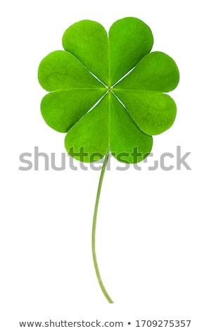 клевера лист трава изолированный четыре белый Сток-фото © Lightsource