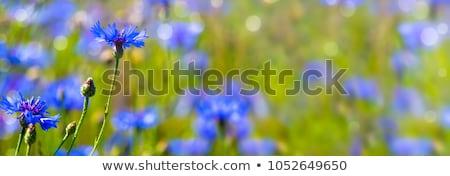 cornflower centaurea cyanus stock photo © arrxxx