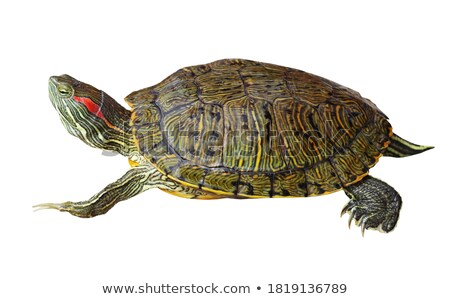Red-eared Slider Turtle Stock photo © jkraft5