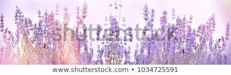 美しい 紫色 ラベンダー 花 開花 夏 ストックフォト © jrstock