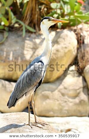 Great blue heron standing on a rock Stock photo © michaklootwijk