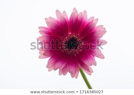 daisy highkey stock photo © alptraum