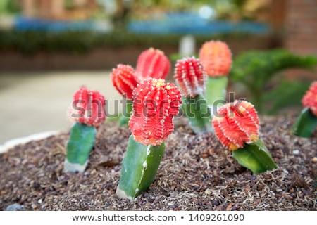 赤 サボテン 工場 緑 庭園 ストックフォト © stocker