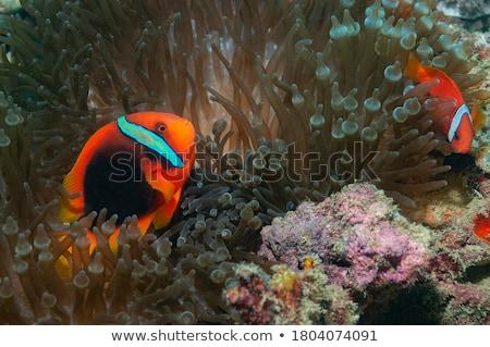 Anemonefish Stock photo © MKucova