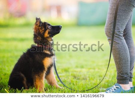 eğitim · köpekler · kulüp · köpek · itaat - stok fotoğraf © godfer