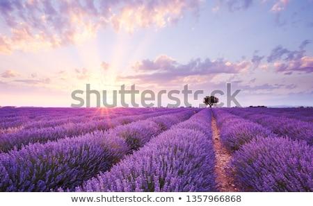belo · paisagem · solitário · árvore · sol · blue · sky - foto stock © nejron