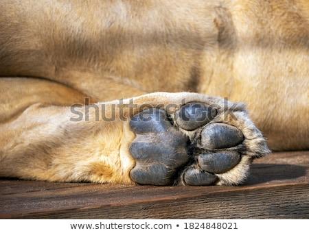 ライオン 食事 女性 動物 アフリカ ストックフォト © jeffbanke