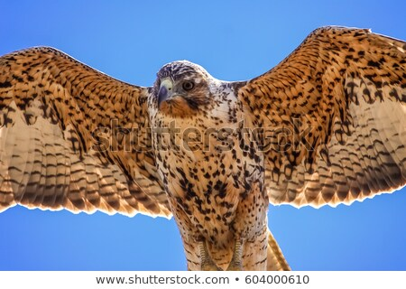 galapagos hawk in flight stock photo © wildnerdpix