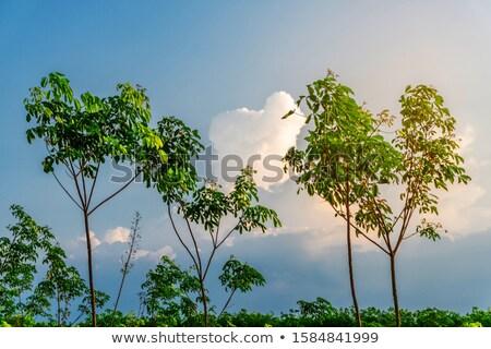 Kauçuk ağaç lateks tarım tropikal orman Stok fotoğraf © FrameAngel
