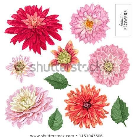 Piękna chryzantema kwiaty ogrody charakter jesienią Zdjęcia stock © tang90246