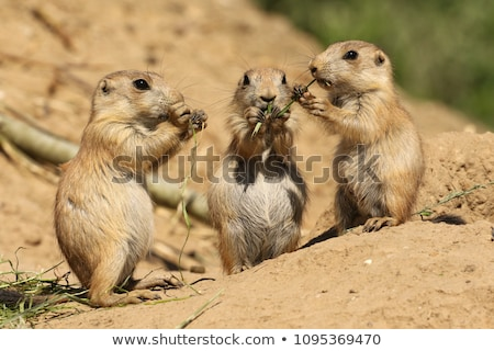 Prairie dog eating Stock photo © Klinker