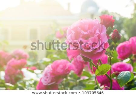 Güller bahçe güzel çiçek gül Stok fotoğraf © teerawit