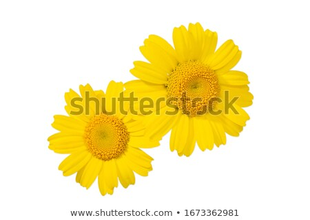 Wild Yellow Daisies Stock photo © zhekos