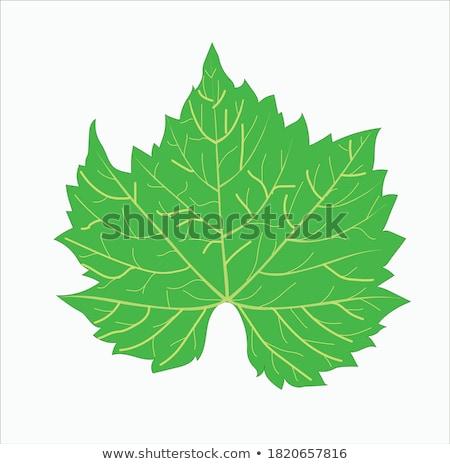 Сток-фото: листьев · зеленые · листья · капли · воды · виноградник · весны · свет