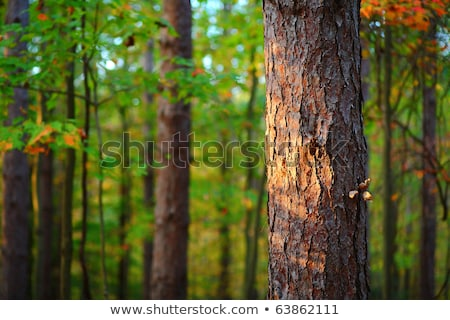pine tree forest in autumn october afternoon stock photo © stevanovicigor