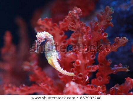 seahorses on the reef Stock photo © adrenalina