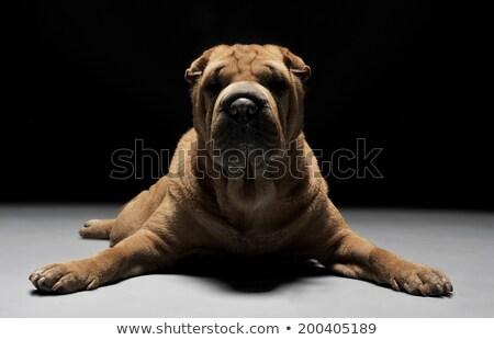 Shar Pei lying down in the dark studio Stock photo © vauvau