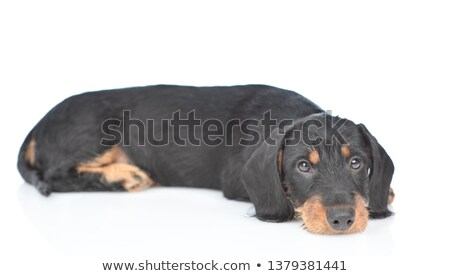 Stock photo: Dachshund standard in white studio