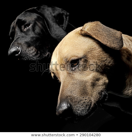 mixed breed brown and black dog with magic eyes head shot in bla Stock photo © vauvau