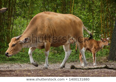 two young banteng or bos javanicus animals Stock photo © compuinfoto