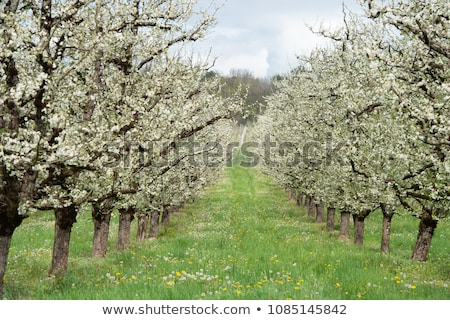Abundant spring blossom in manicured plum tree orchards near Villeneuve-sur-Lot, Lot-et-Garonne, Fra Stock photo © FreeProd