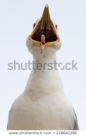 Young seagull calling with beak wide open. Stock photo © latent
