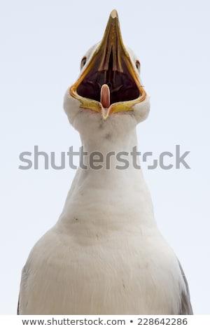 Genç martı çağrı gaga geniş açmak Stok fotoğraf © latent