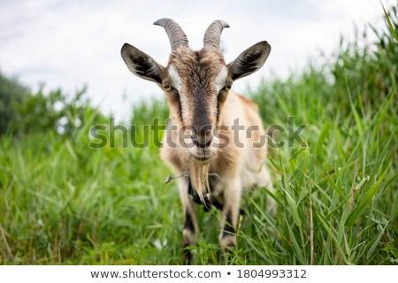 Grijs geit dier illustratie ontwerp achtergrond Stockfoto © bluering