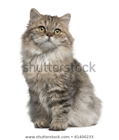 Fluffy British Longhair kitten, isolated on white background Stock photo © CatchyImages