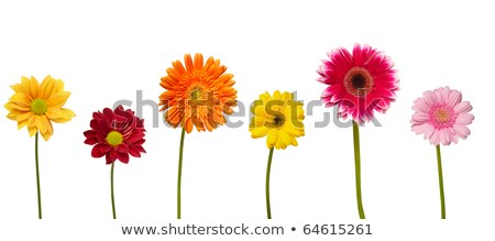 Vibrant red Gerbera flower on white background Stock photo © CatchyImages
