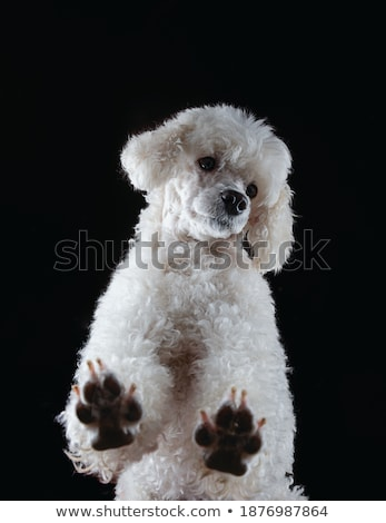 Stock photo: Studio shot of an adorable Poodle