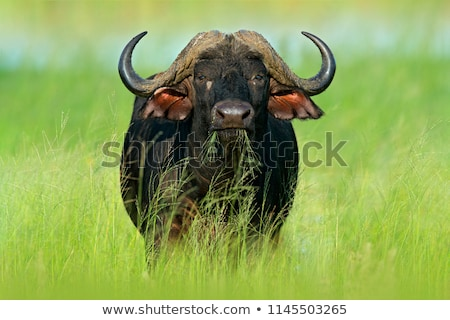Big African buffalo bull in the grass. Stock photo © simoneeman