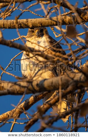 Hawk Hiding Stock photo © kwest