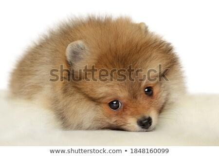 Portrait of sadly Spitz puppy Stock photo © frank11
