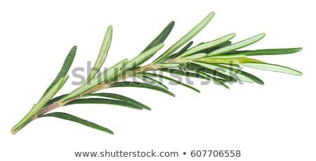 Ramita romero blanco espacio medicina planta Foto stock © Masha