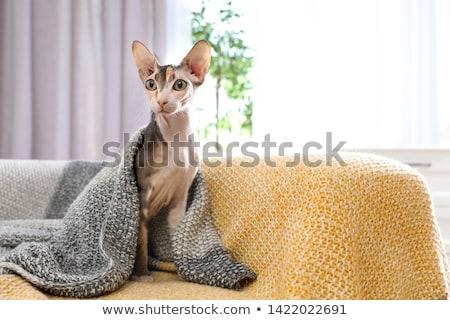 スフィンクス 猫 ブラウン ヌード 背景 スペース ストックフォト © mastergarry