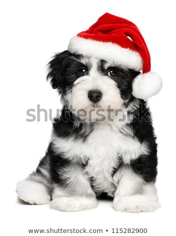 Siyah köpek yavrusu Noel şapka beyaz Stok fotoğraf © dnsphotography