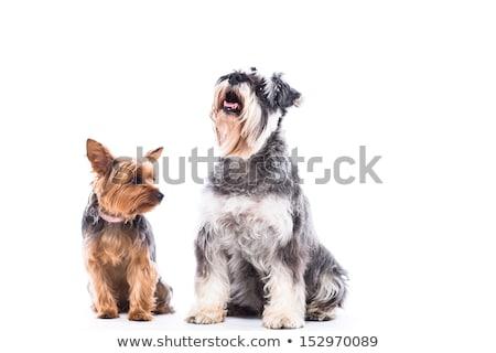 Йоркшир · терьер · сидят · студию · собака - Сток-фото © fantasticrabbit