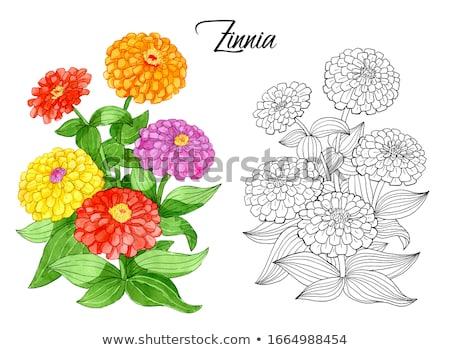 Zinnia flower Stock photo © varts
