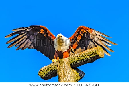 Azul águila alas mascota símbolo emblema Foto stock © HunterX