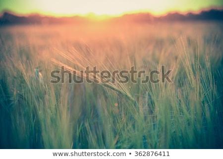 закат · области · лет · ушки · пшеницы · солнце - Сток-фото © mycola