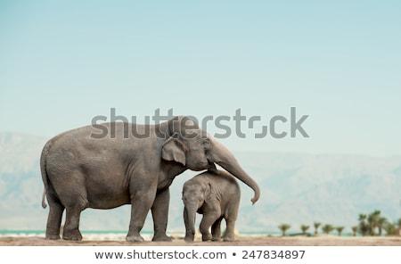 Female Elephants with Baby stock photo © JFJacobsz