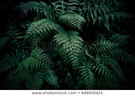 young fern bush stock photo © papa1266