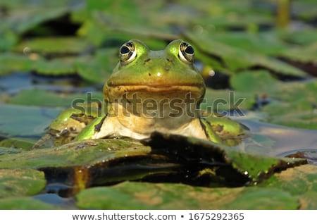сидят · воды · болото · лягушка - Сток-фото © brm1949