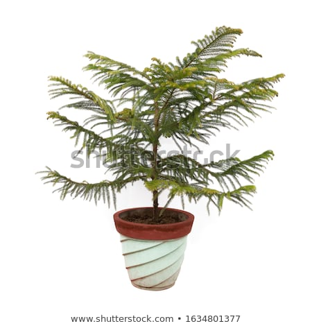 A Norfolk island pine Stock photo © bluering